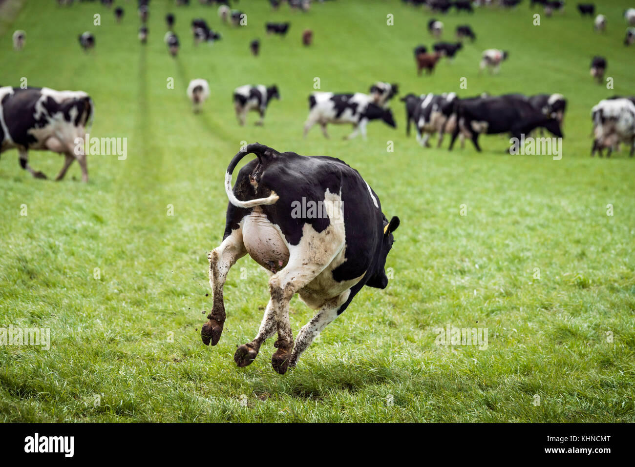 Happy cow jumping down a green field in the spring on the first day out on the grass - Stock Image