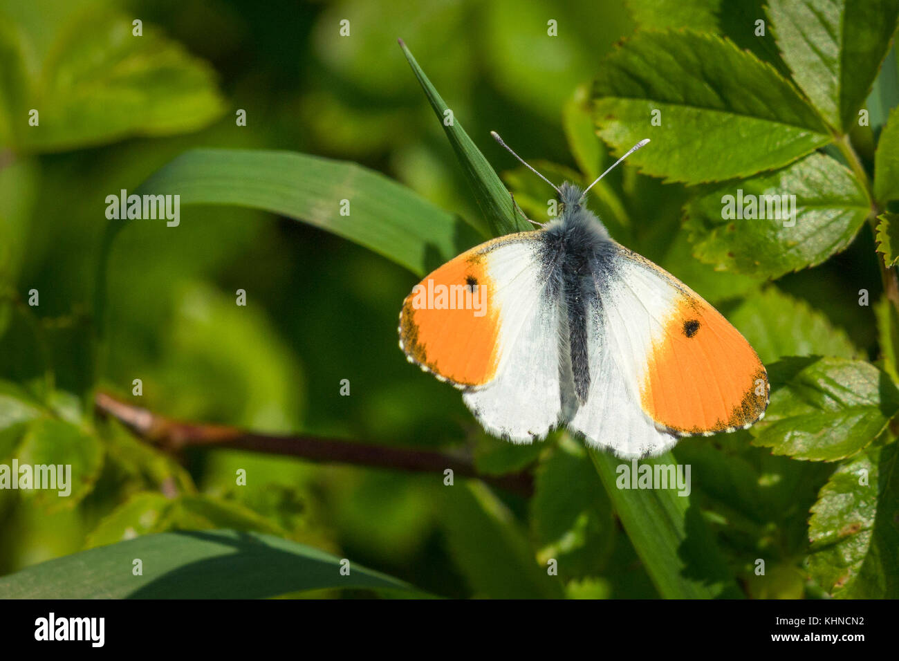 Orange tip butterfly on a green leaf in a garden at springtime in the sun - Stock Image