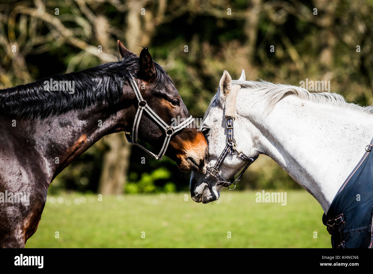 Two horses kissing on a rural field in the spring white and brown horse making out - Stock Image