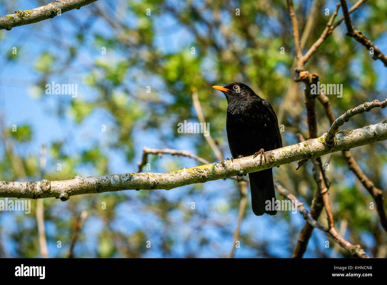 Blackbird sitting on a branch in a tree in the spring with a colorful orange beak - Stock Image