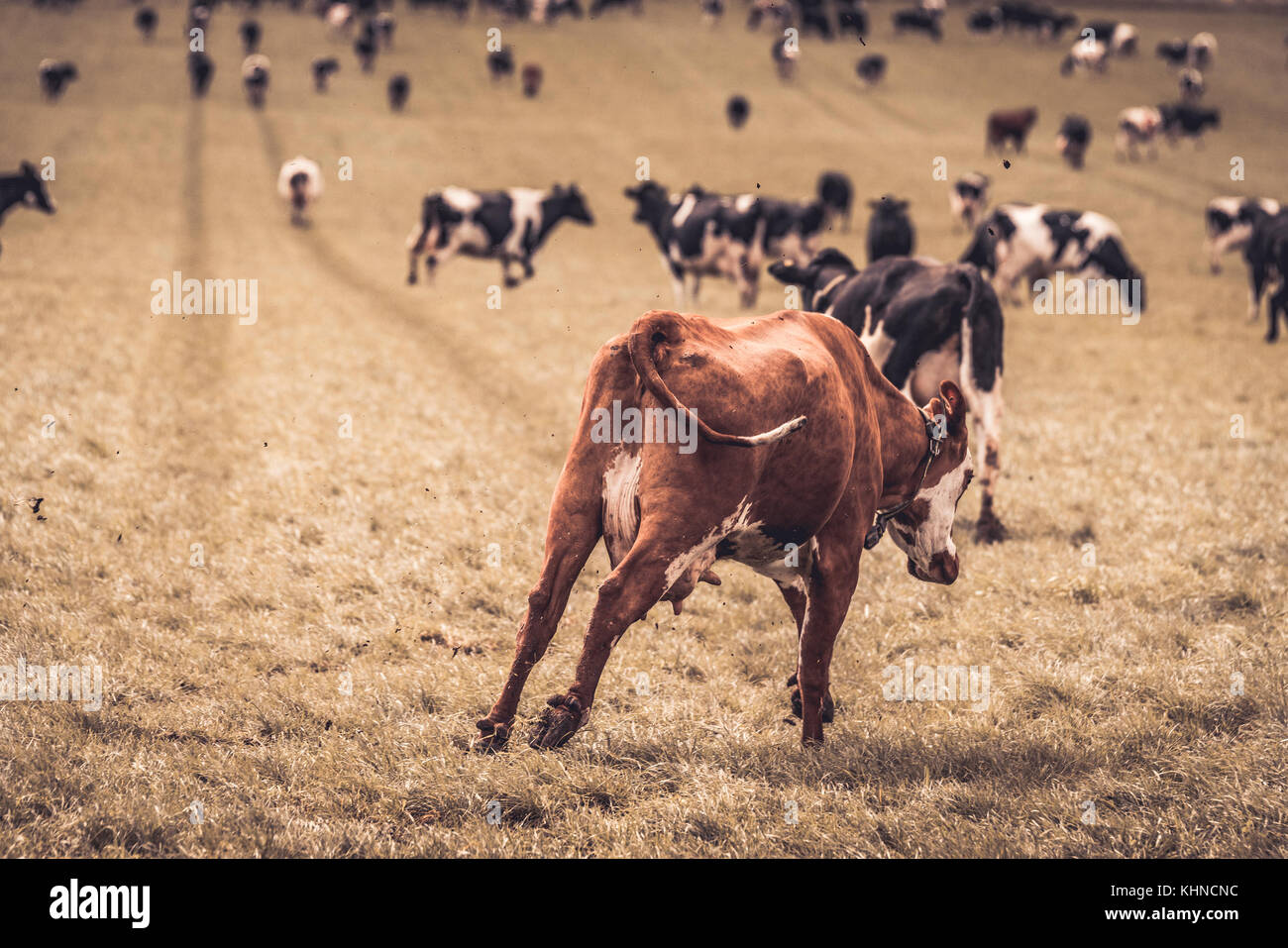 Hereford calf running and jumping on a rural field with black and white cows in the spring - Stock Image