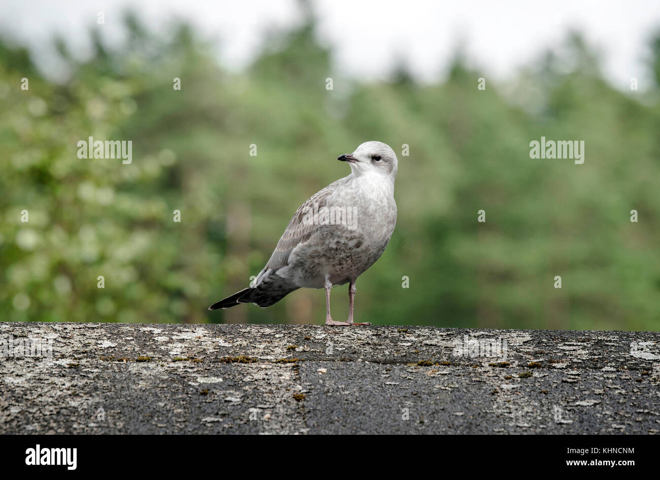 Young common gull standing on a wooden log in a forest in grey colors - Stock Image