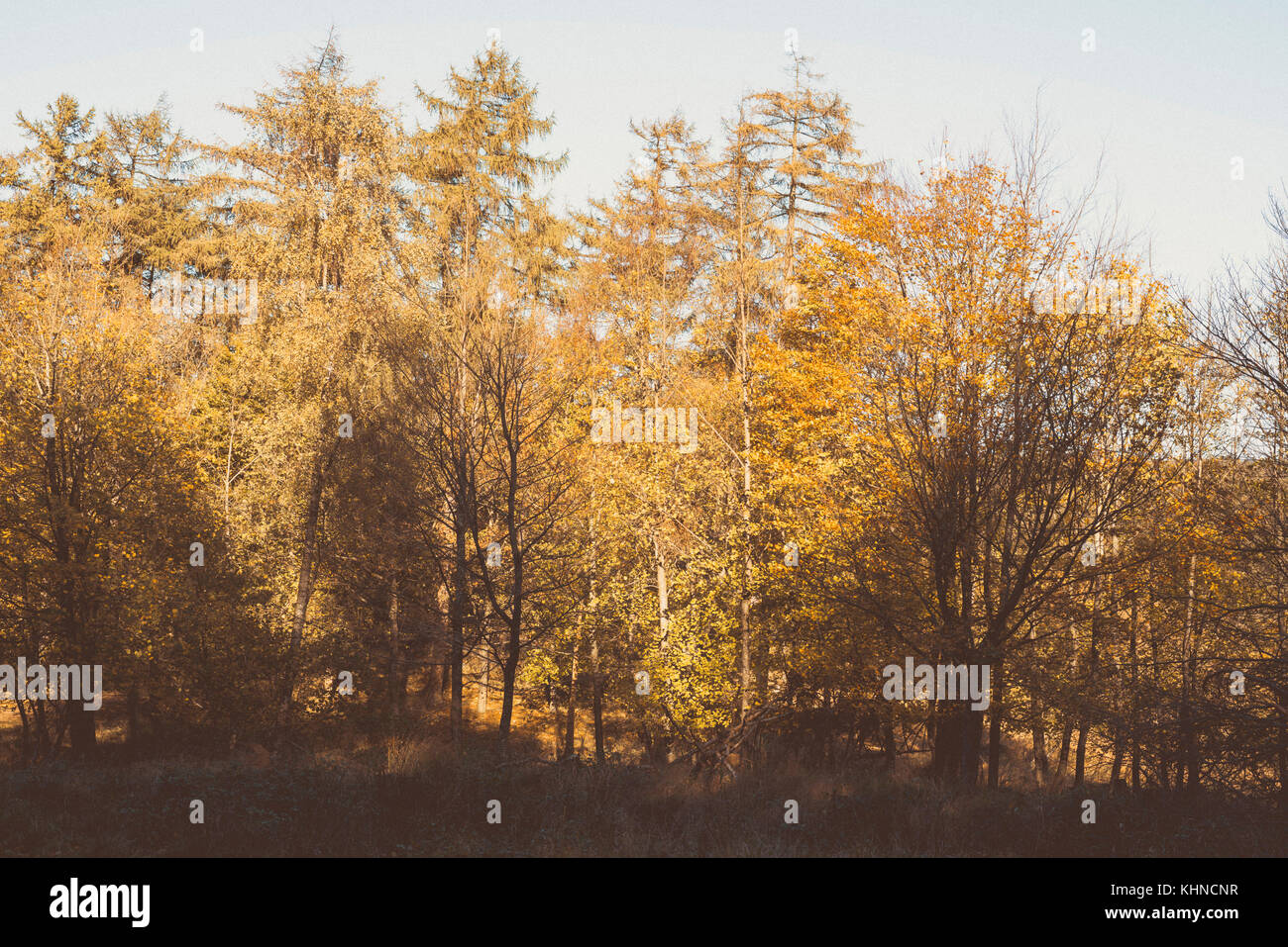 Autumn colors in a forest with tall trees in golden color in October - Stock Image