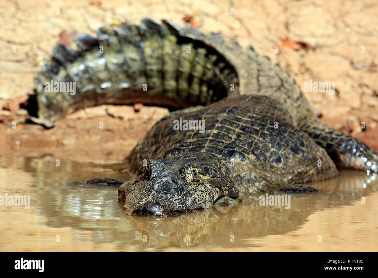 Spectacled Caiman the Water by the River Bank. Rio Claro, Pantanal, Brazil - Stock Image
