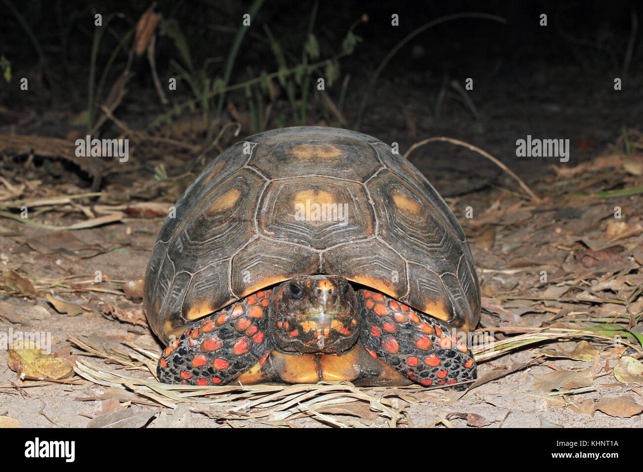 Red-footed Tortoise, Close-up from Front. Rio Claro, Pantanal, Brazil - Stock Image