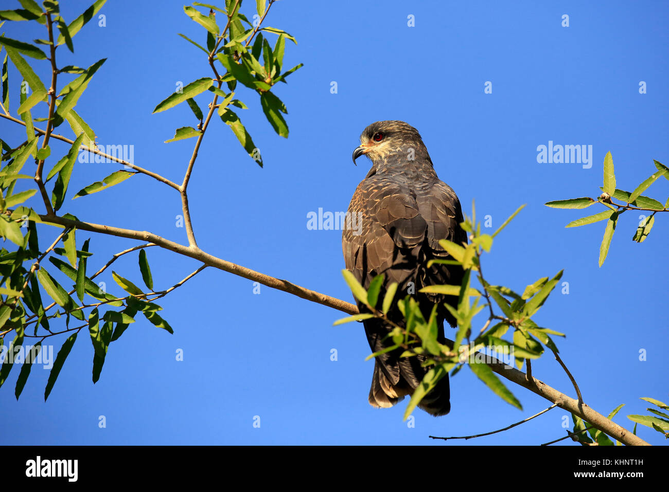 Snail Kite in Profile, on a Branch. Rio Claro, Pantanal, Brazil - Stock Image