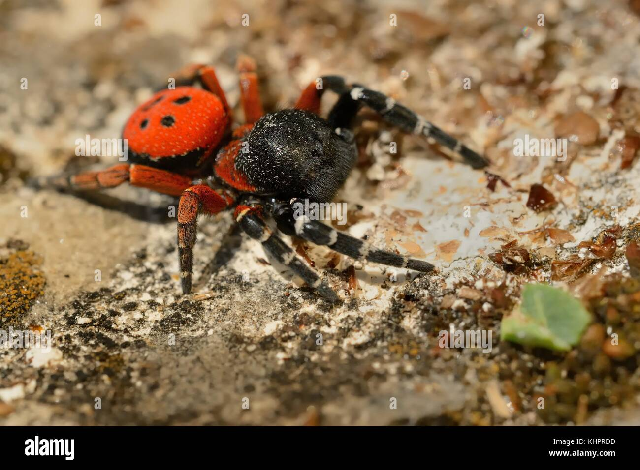 Spider Eresus moravicus - male searching female. - Stock Image