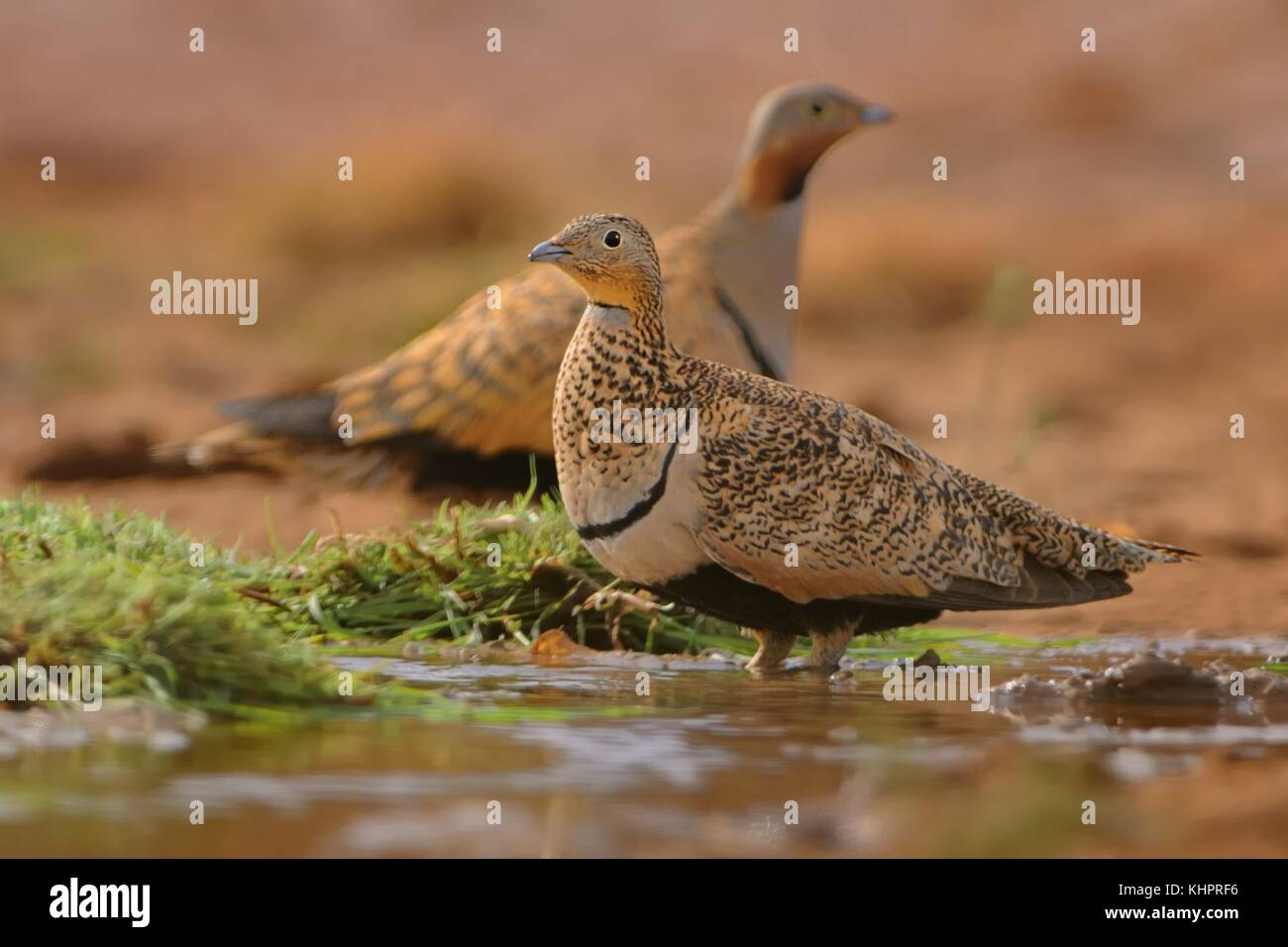Two Black-bellied Sandgrouse (Pterocles orientalis) sitting next to the desert pool to quench thirst. - Stock Image