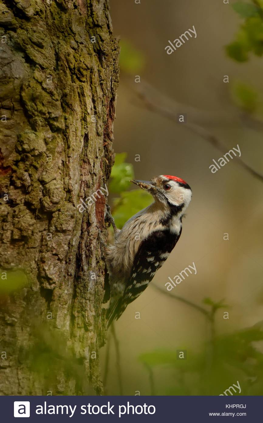 Lesser Spotted Woodpecker - Dendrocopos minor feeding his chicks in the nesthole on the tree - Stock Image