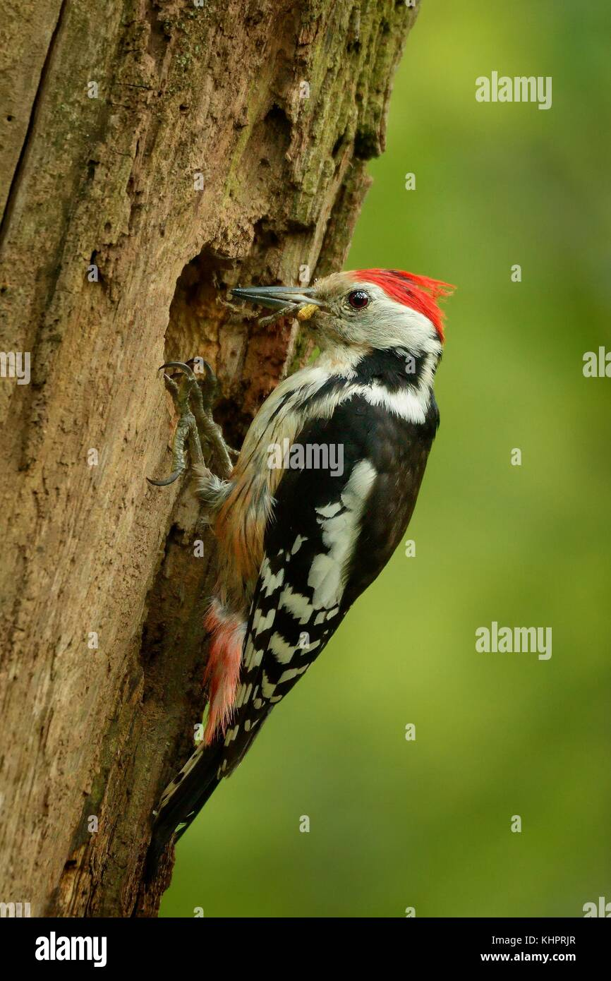 Middle Spotted Woodpecker - Dendrocopos medius sitting on the tree trunk and feeding, green forest - Stock Image