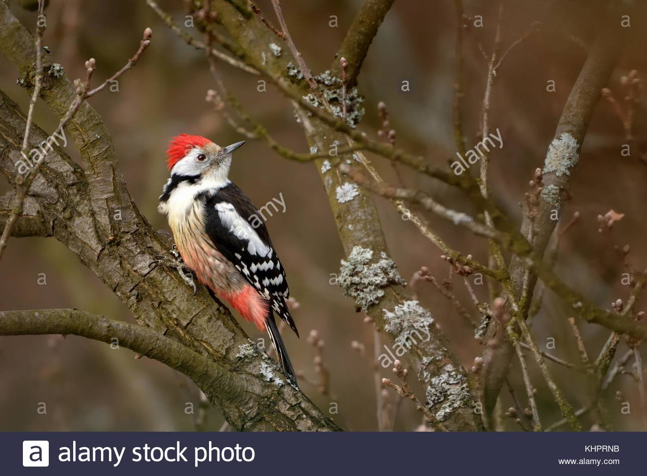 Middle Spotted Woodpecker (Dendrocopos medius) perched on a branch of a tree without leaves. - Stock Image
