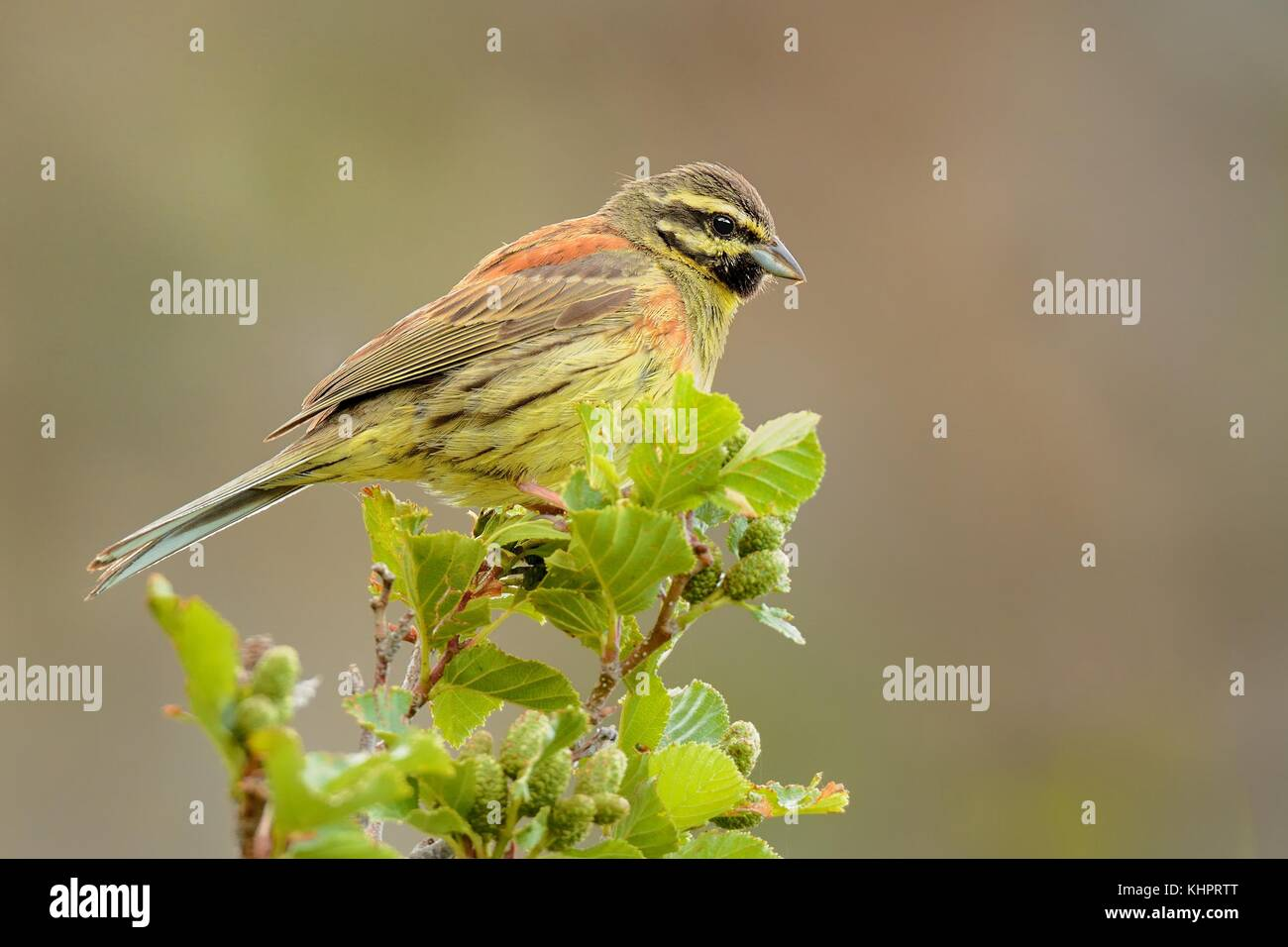 Cirl Bunting - Emberiza cirlus sitting on the branch - Stock Image