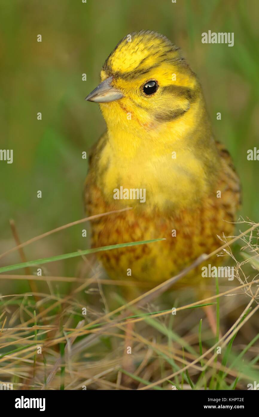Yellowhammer - Emberiza citrinella sitting in the green grass in spring - Stock Image