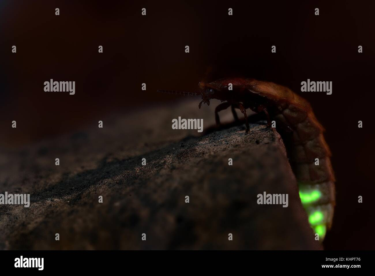 Glow Worm - Lampyris noctiluca female in the night, midnight in Croatia, luring males - Stock Image