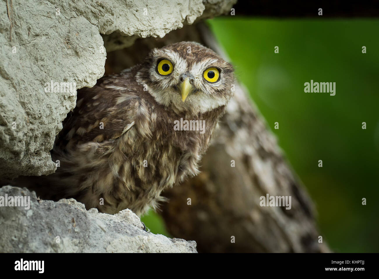Young Little Owl (Athene noctua) hiding on the old wall. - Stock Image