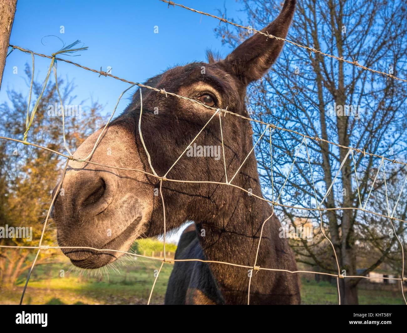 Donkey behind wire fence. - Stock Image