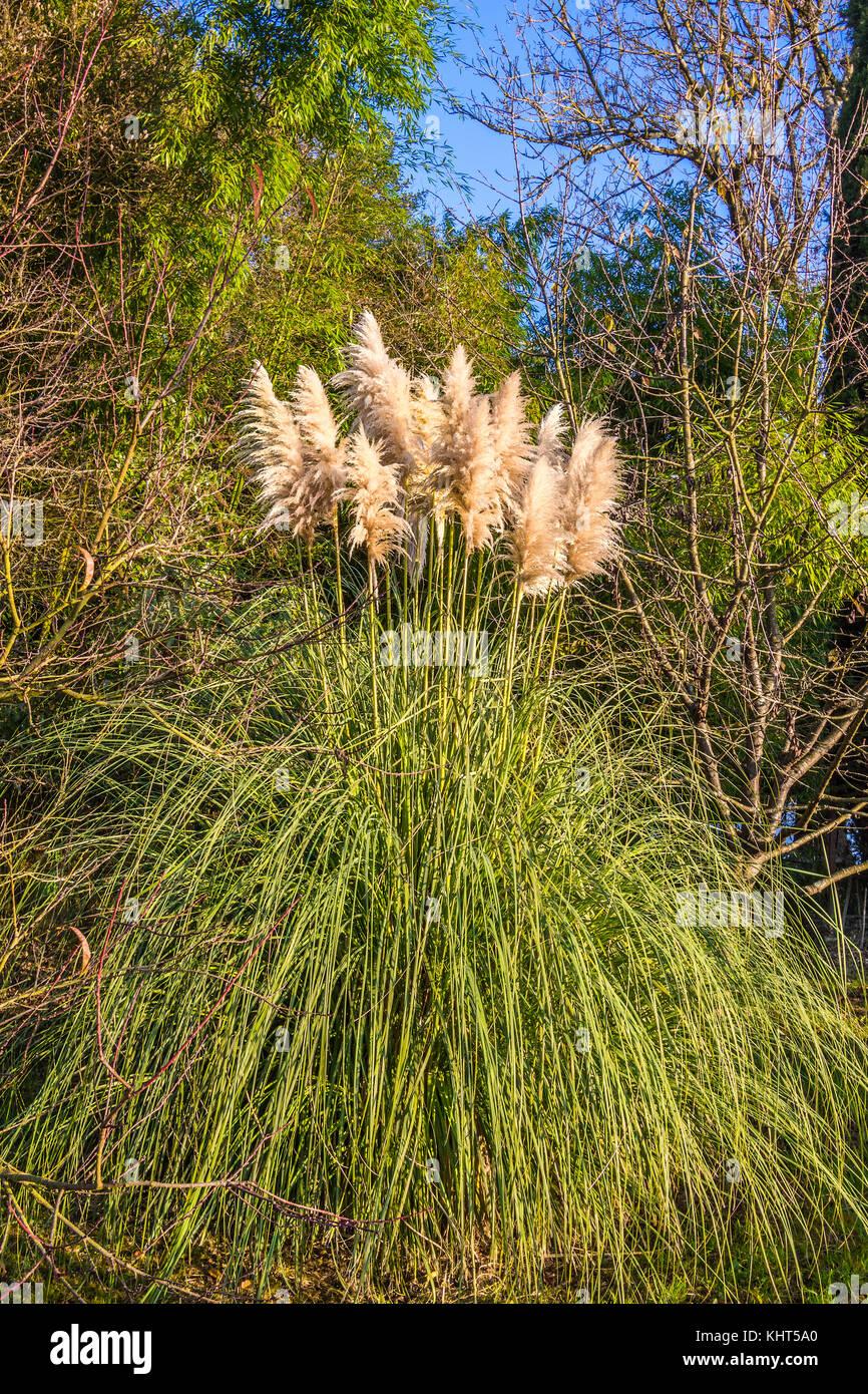 Flowering Pampas Grass (Cortaderia selloana). - Stock Image