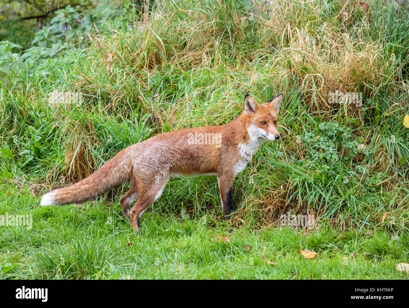 A Red fox - Stock Image