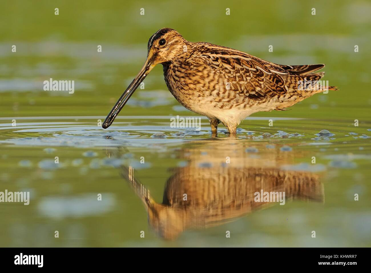 Common Snipe - Gallinago gallinago wader feeding in the green water, lake in the south or Moravia - Stock Image
