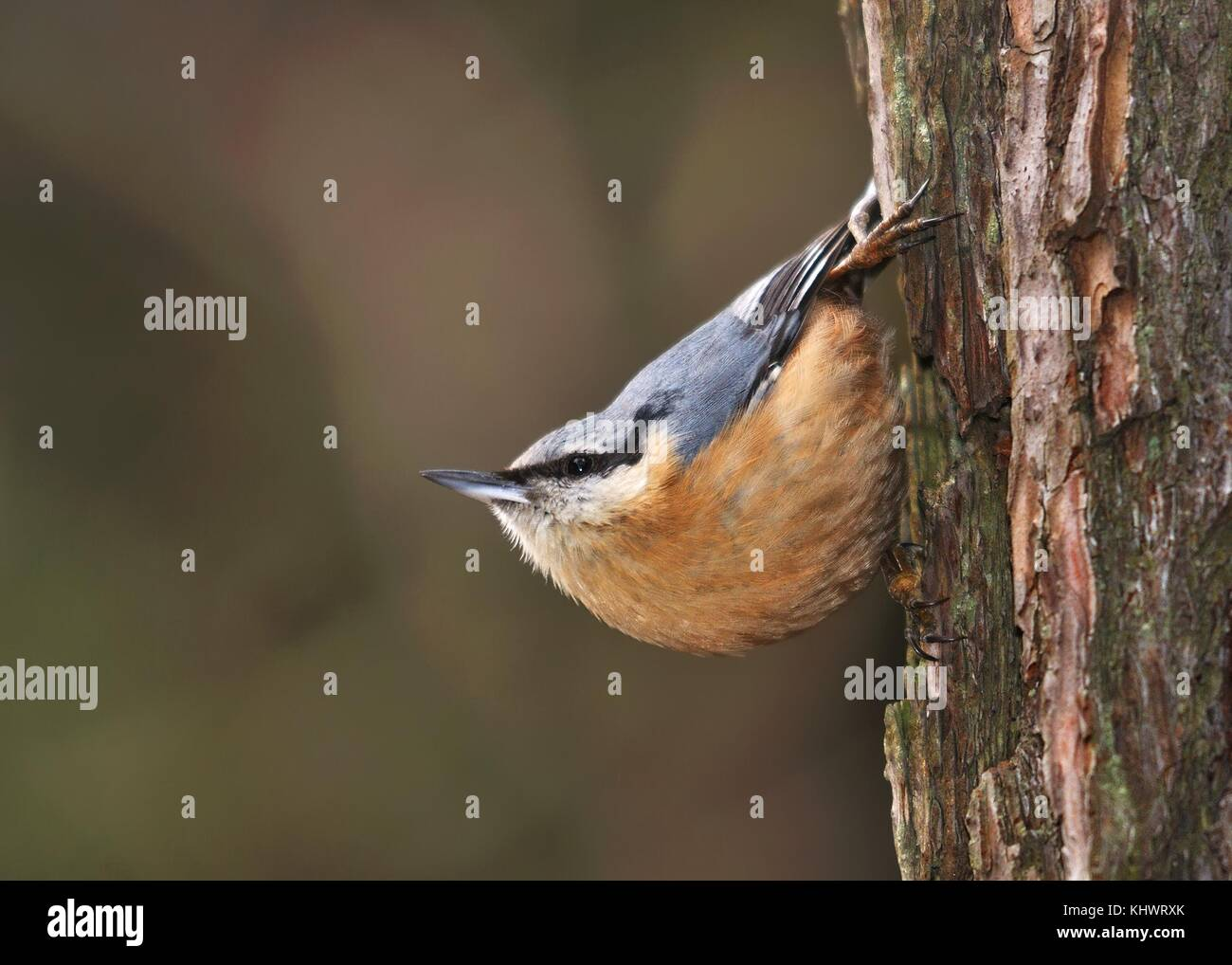 Eurasian Nuthatch - Sitta europaea sitting on the tree trunk - Stock Image