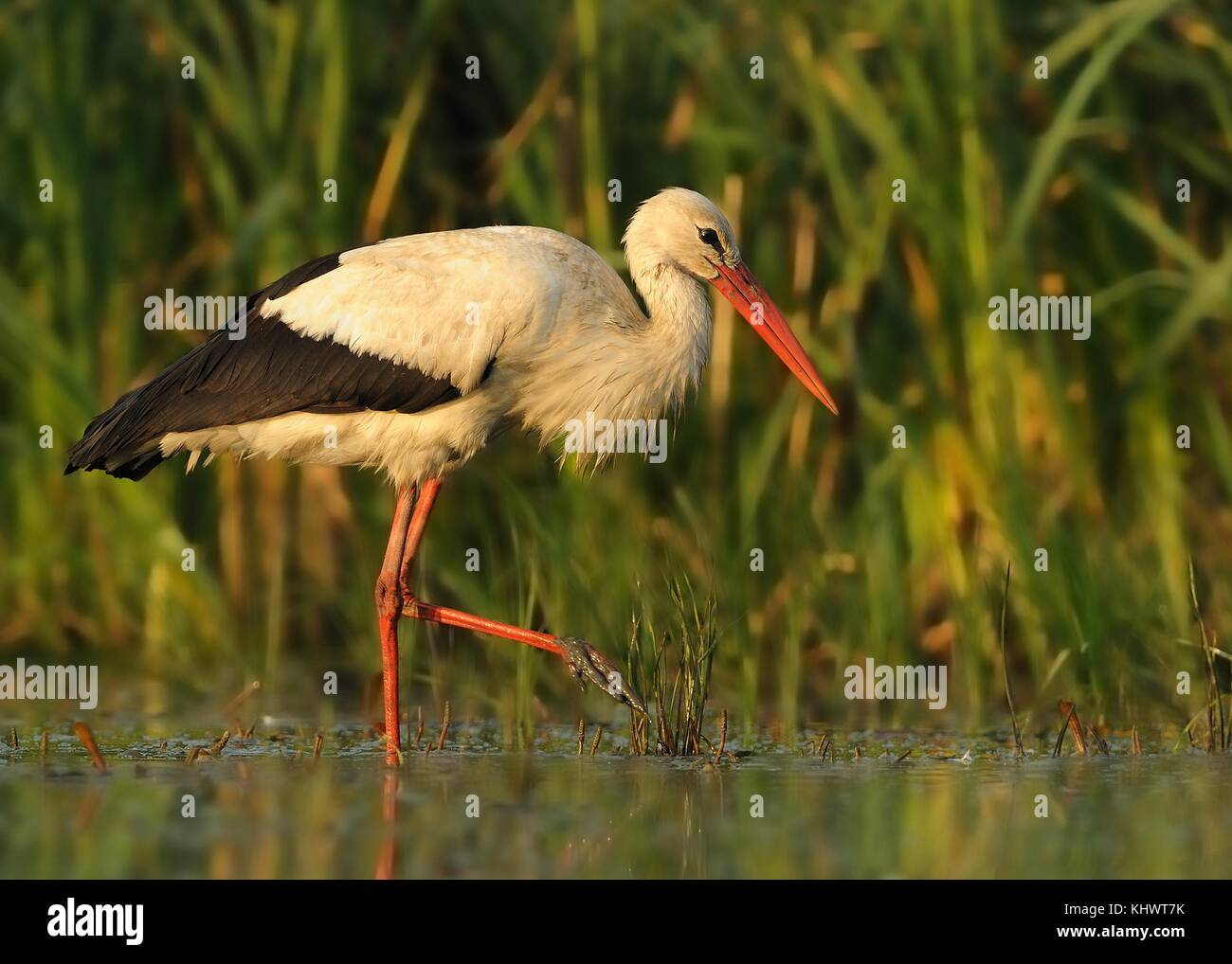 White Stork - Ciconia ciconia staying and waiting for the prey in the water - Stock Image