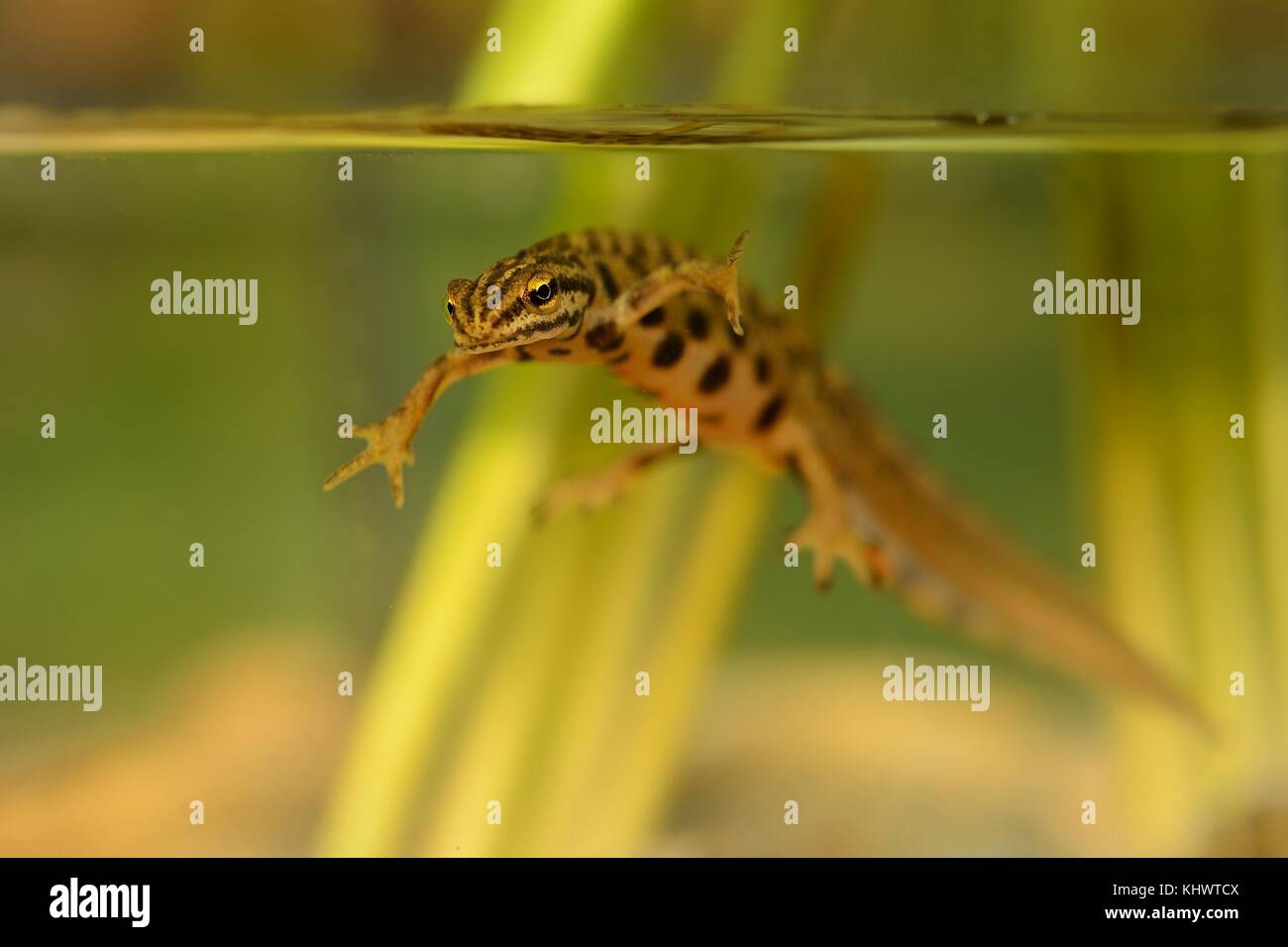Smooth newt captured under water in the small lagoon. - Stock Image
