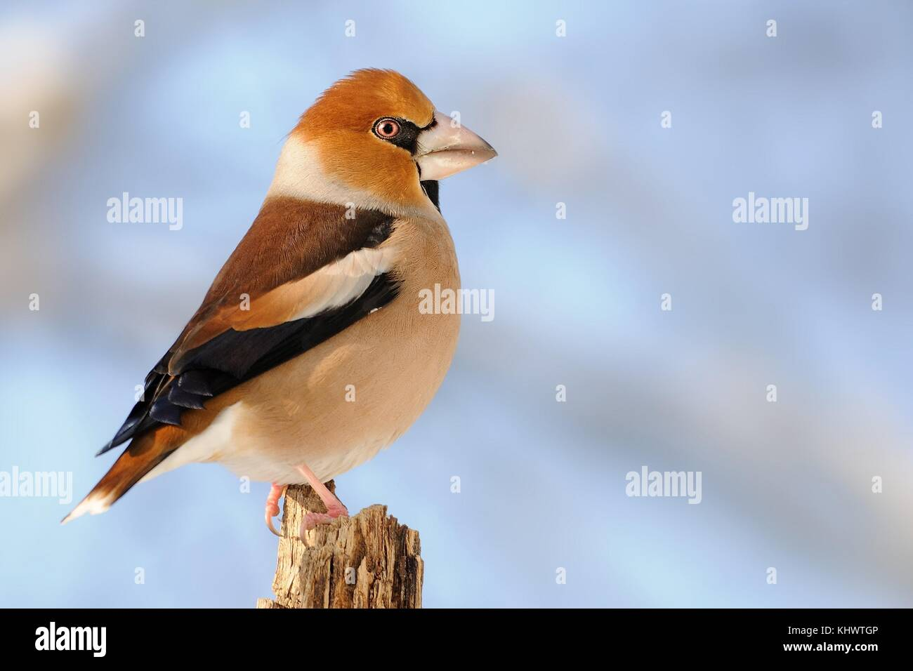 Hawfinch - Coccothraustes coccothraustes sitting on the branch in winter - Stock Image