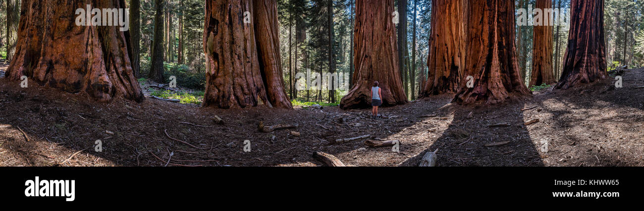 Panorama of Woman in Sequoia Grove - Stock Image