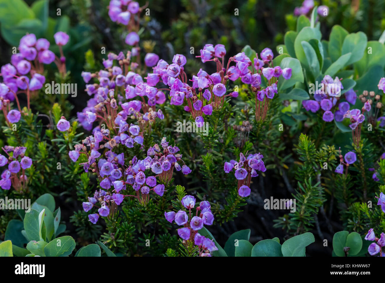Pink Mountain Heath Wildflowers Bloom in pacific northwest - Stock Image