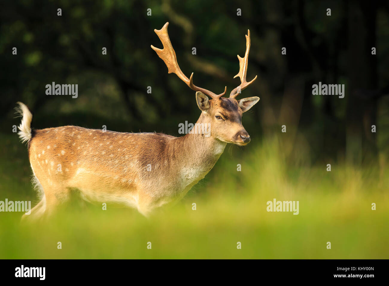 Fallow Deer Stag In Beautiful Autumn Forest Stock Image