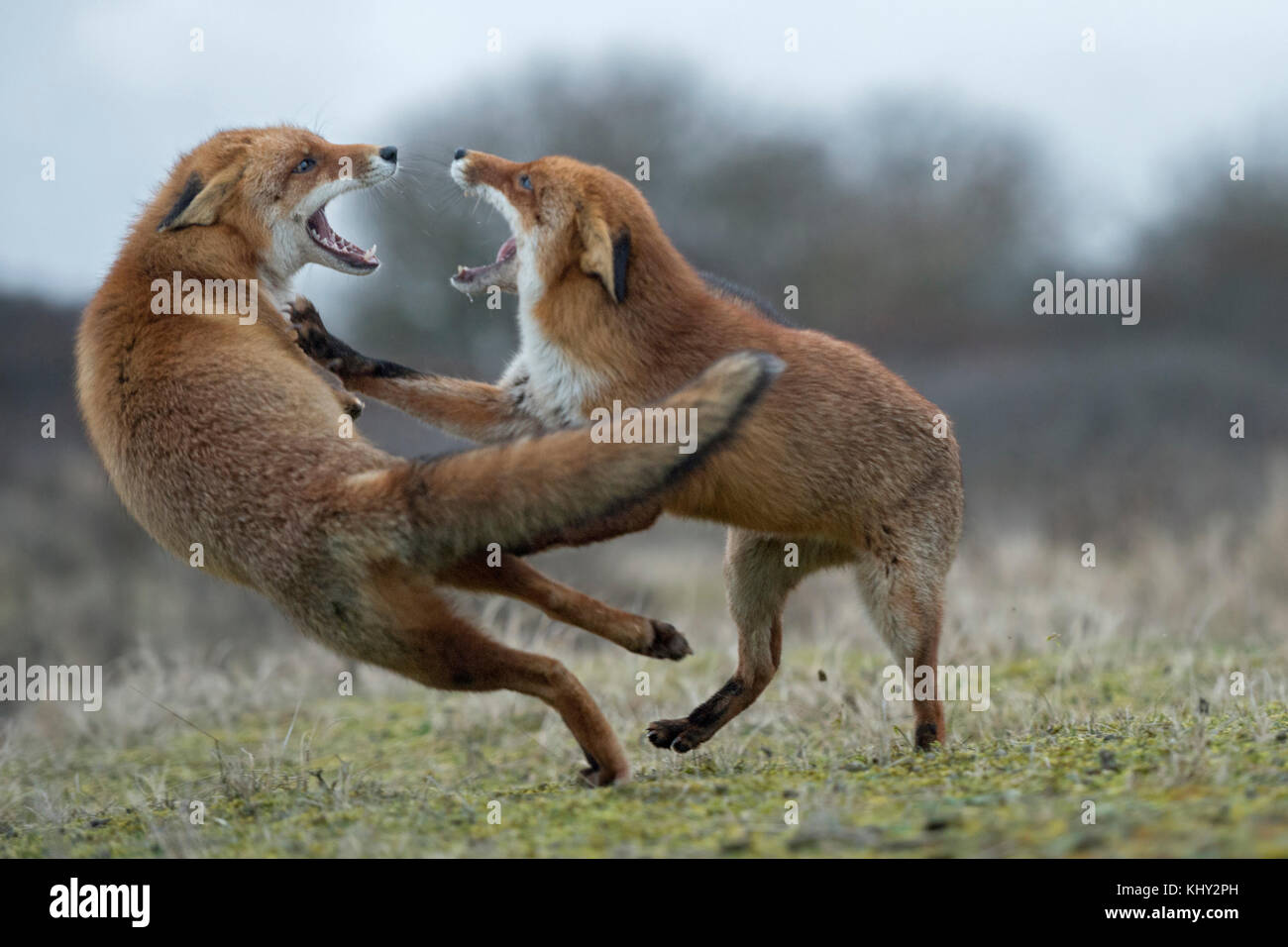 Red Foxes ( Vulpes vulpes ), two adults, in agressive fight, fighting, threatening with wide open jaws, attacking - Stock Image