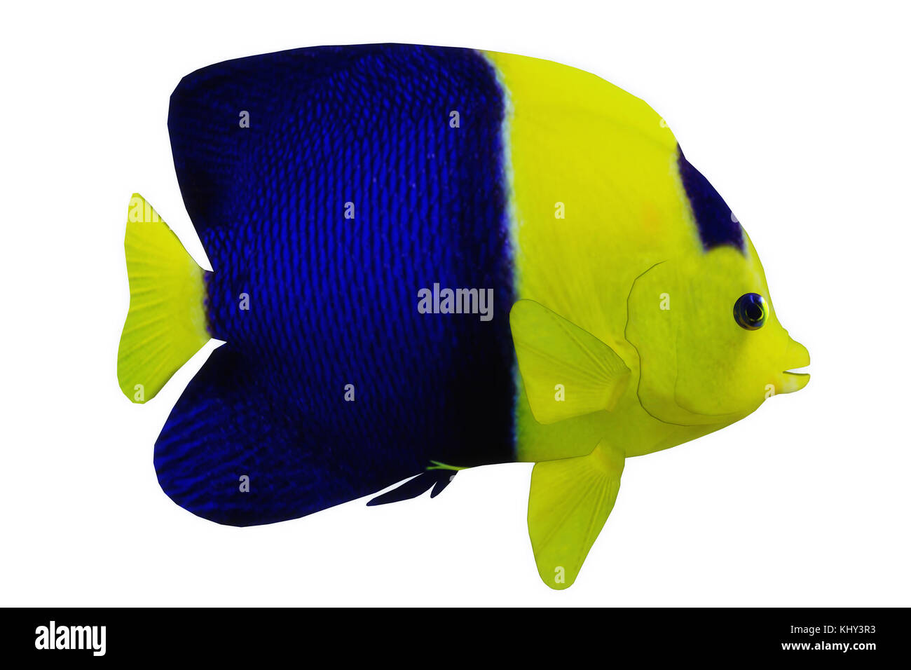 Bicolor Angelfish - The Bicolor Angelfish is a saltwater species reef fish in tropical regions of major oceans. - Stock Image