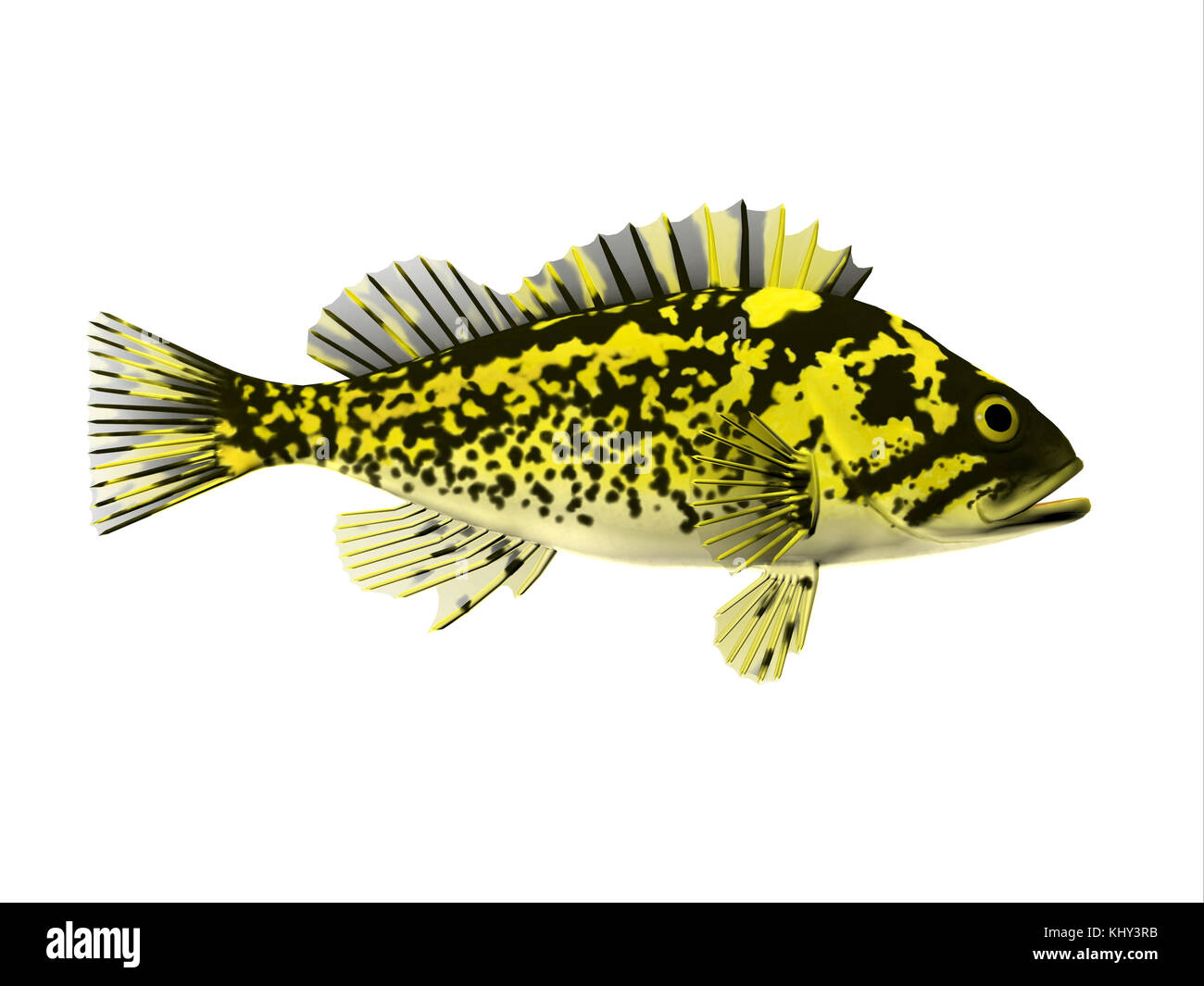 Black and Yellow Rockfish - Rockfish spend most of the time among rocky crevices and boulders in the Pacific ocean - Stock Image