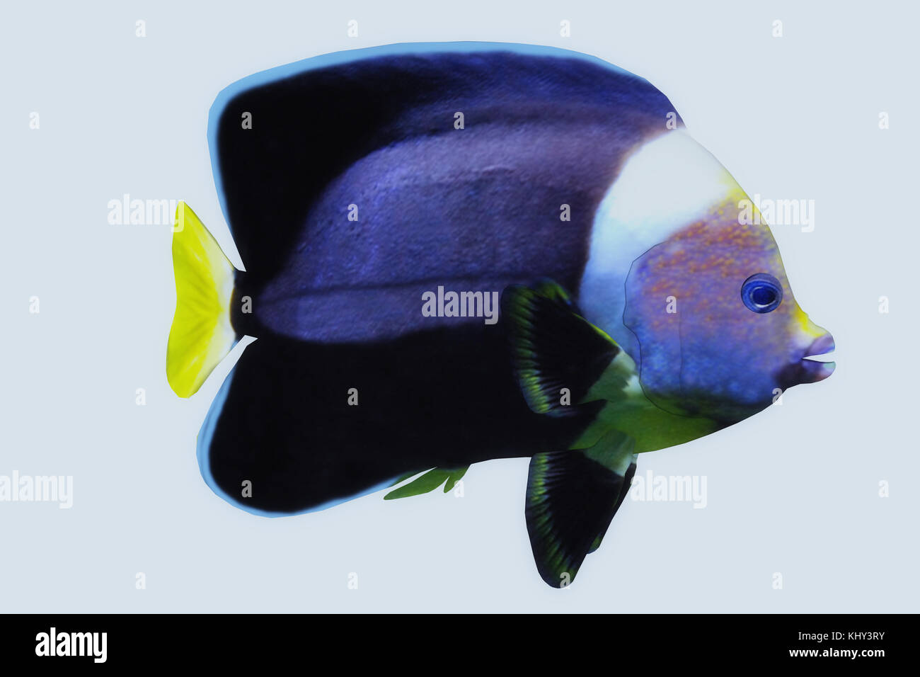 Black Velvet Angelfish - The Black Velvet Angelfish is a saltwater species reef fish in tropical regions of major - Stock Image