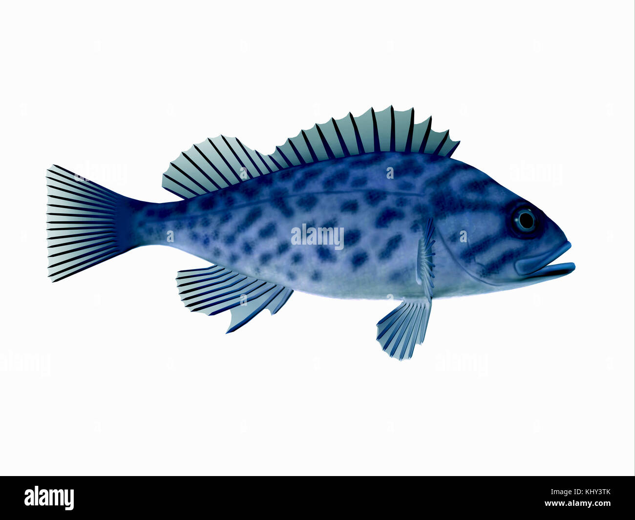 Blue Rockfish - Blue Rockfish spend most of the time among rocky crevices and boulders in the Pacific ocean and - Stock Image