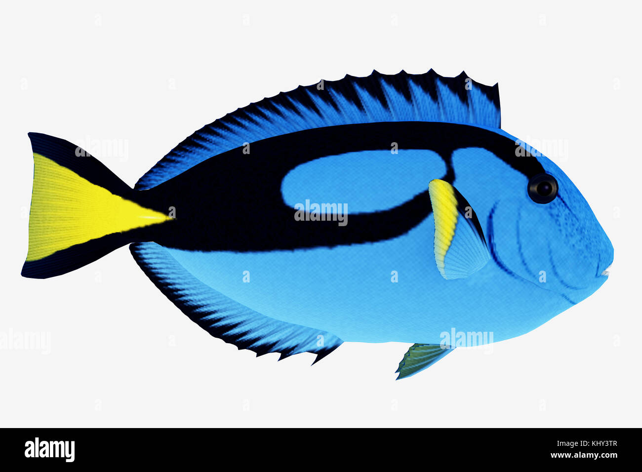 Blue Tang Fish - The Blue Tang Fish is a saltwater species reef fish in tropical regions of Indo-Pacific oceans - Stock Image