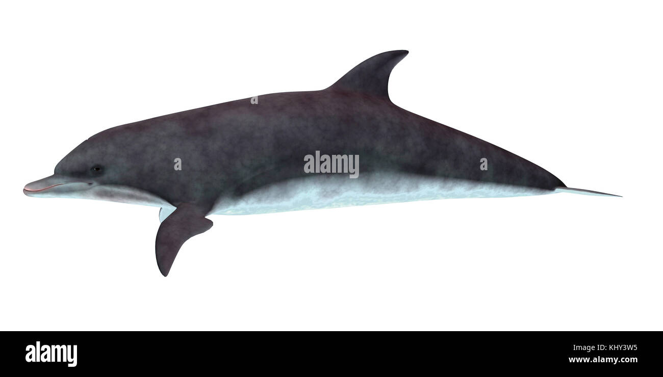 Bottlenose Dolphin Side Profile - The Bottlenose dolphin inhabits warm and temperate seas and searches for forage - Stock Image