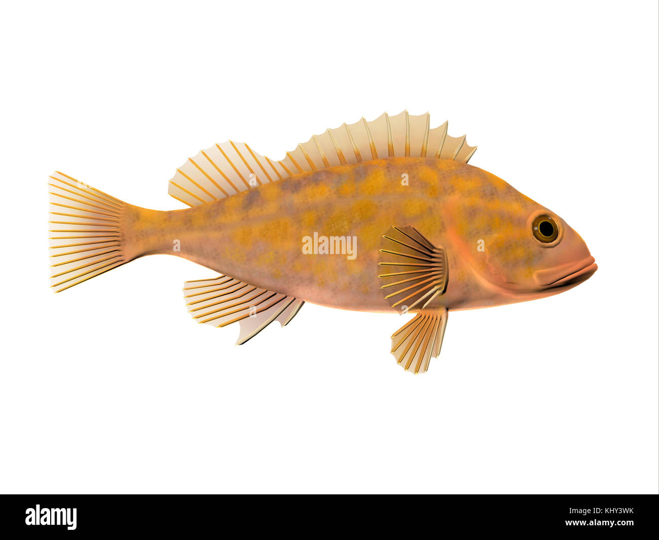 Canary Rockfish - Canary Rockfish spend most of the time among rocky crevices and boulders in the Pacific ocean - Stock Image