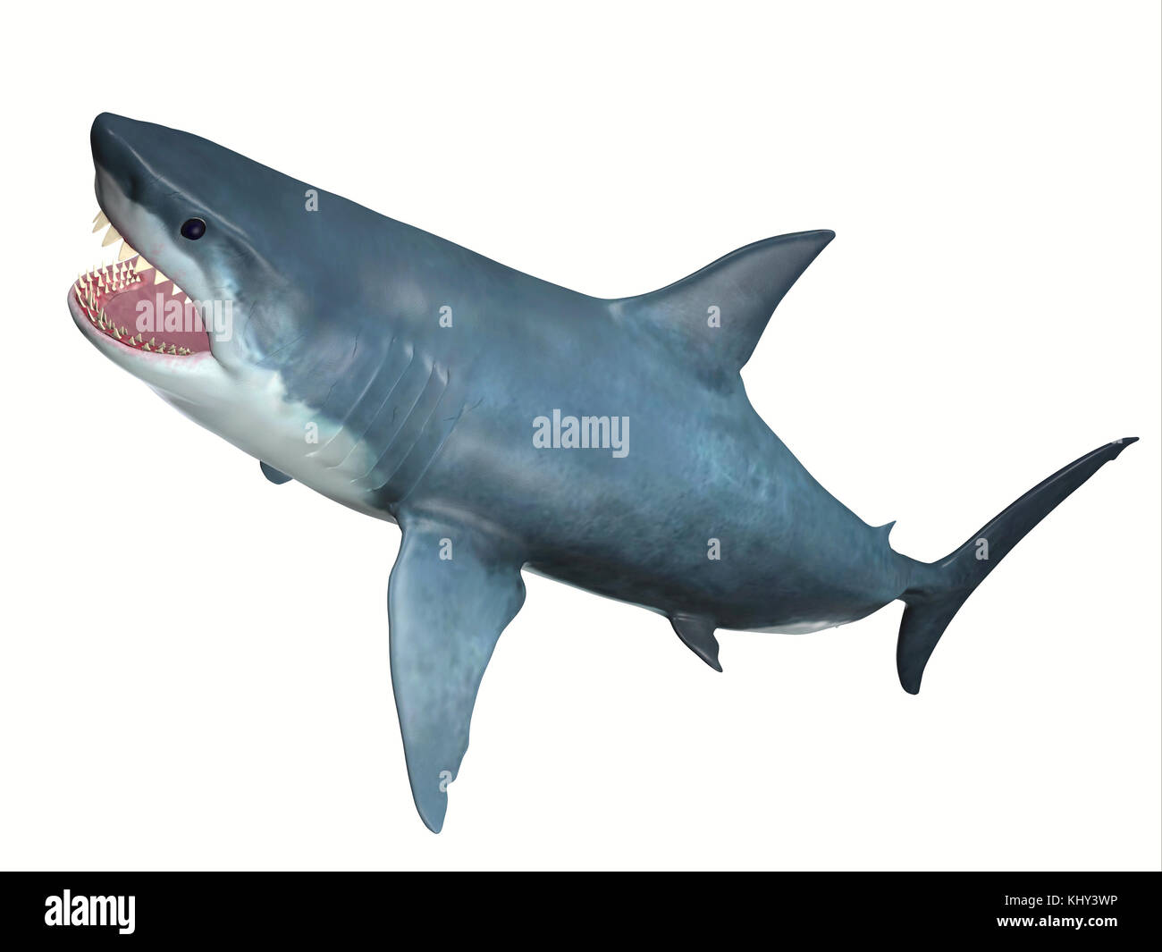 Carnivore Great White Shark - The Great White Shark is one of the largest predators in the ocean and inhabits temperate - Stock Image