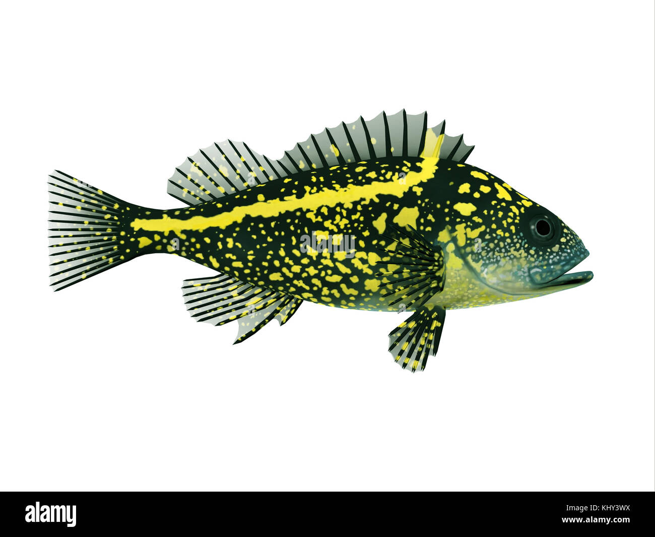 China Rockfish - Rockfish spend most of the time among rocky crevices and boulders in the Pacific ocean and eat - Stock Image