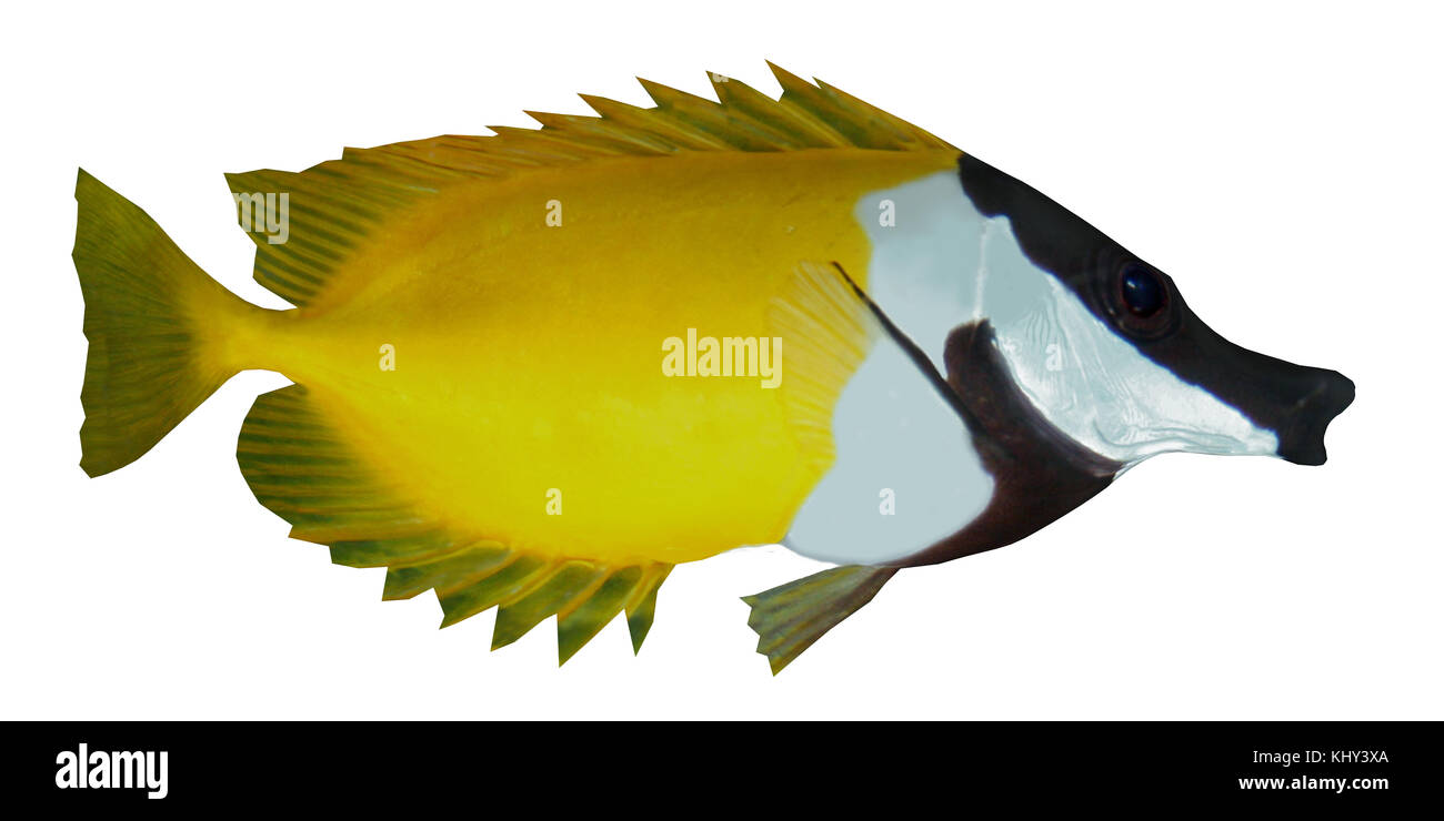 Foxface Rabbitfish - The Foxface Rabbitfish is a saltwater species reef fish in tropical regions of the Western - Stock Image