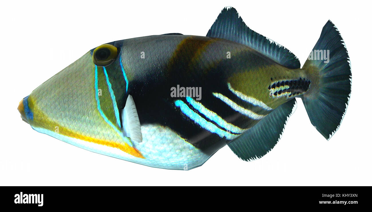 Humu Picasso Triggerfish - The Humu Picasso Fish is a saltwater species reef fish in tropical regions of Indo-Pacific - Stock Image