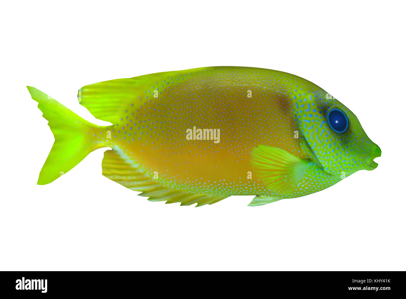 Lemonpeel Angelfish - The Lemonpeel Angelfish is a saltwater species reef fish in tropical regions of Indo-Pacific - Stock Image