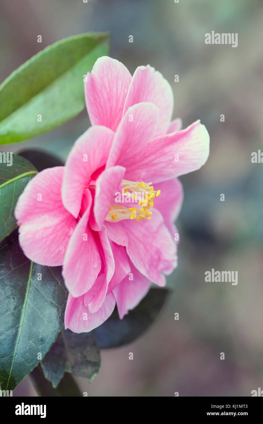 Camellia reticulata stock photos camellia reticulata - Camelia fotos ...