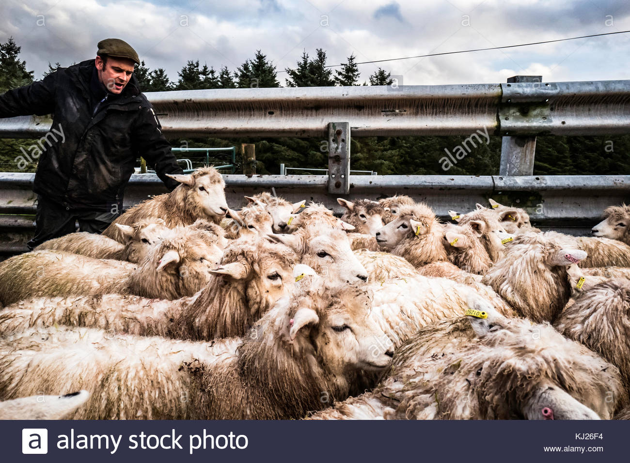 Towford, Jedburgh, Scottish Borders, UK. 21st November 2017. A flock of Romney sheep are moved to fresh grazing - Stock Image