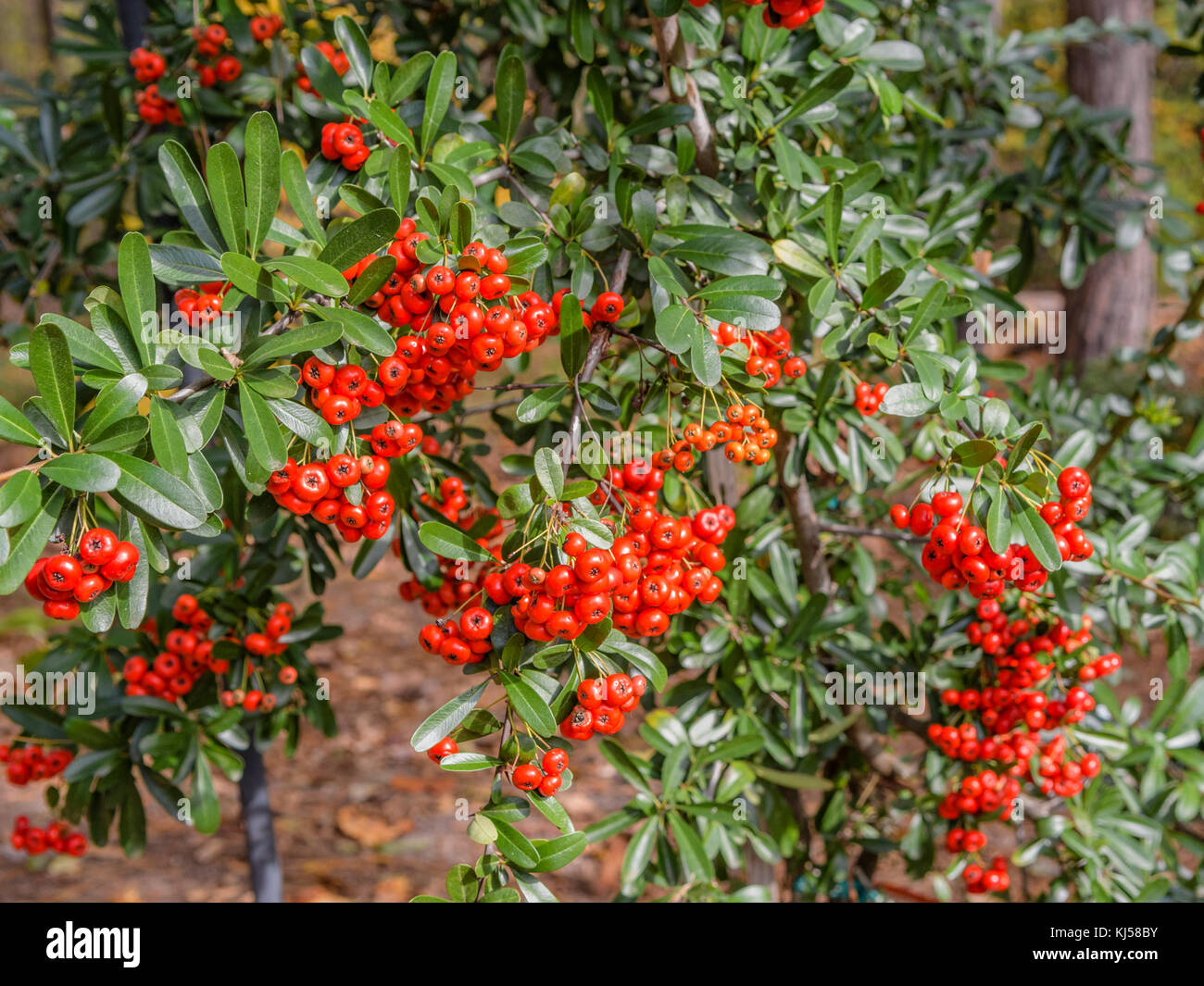Pyracantha a genus of large, thorny evergreen shrubs in the family Rosaceae, with common names firethorn or pyracantha - Stock Image