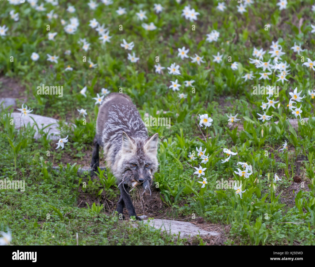 Red Cascades Fox Carries Fresh Kill through field of avalanche lilies - Stock Image