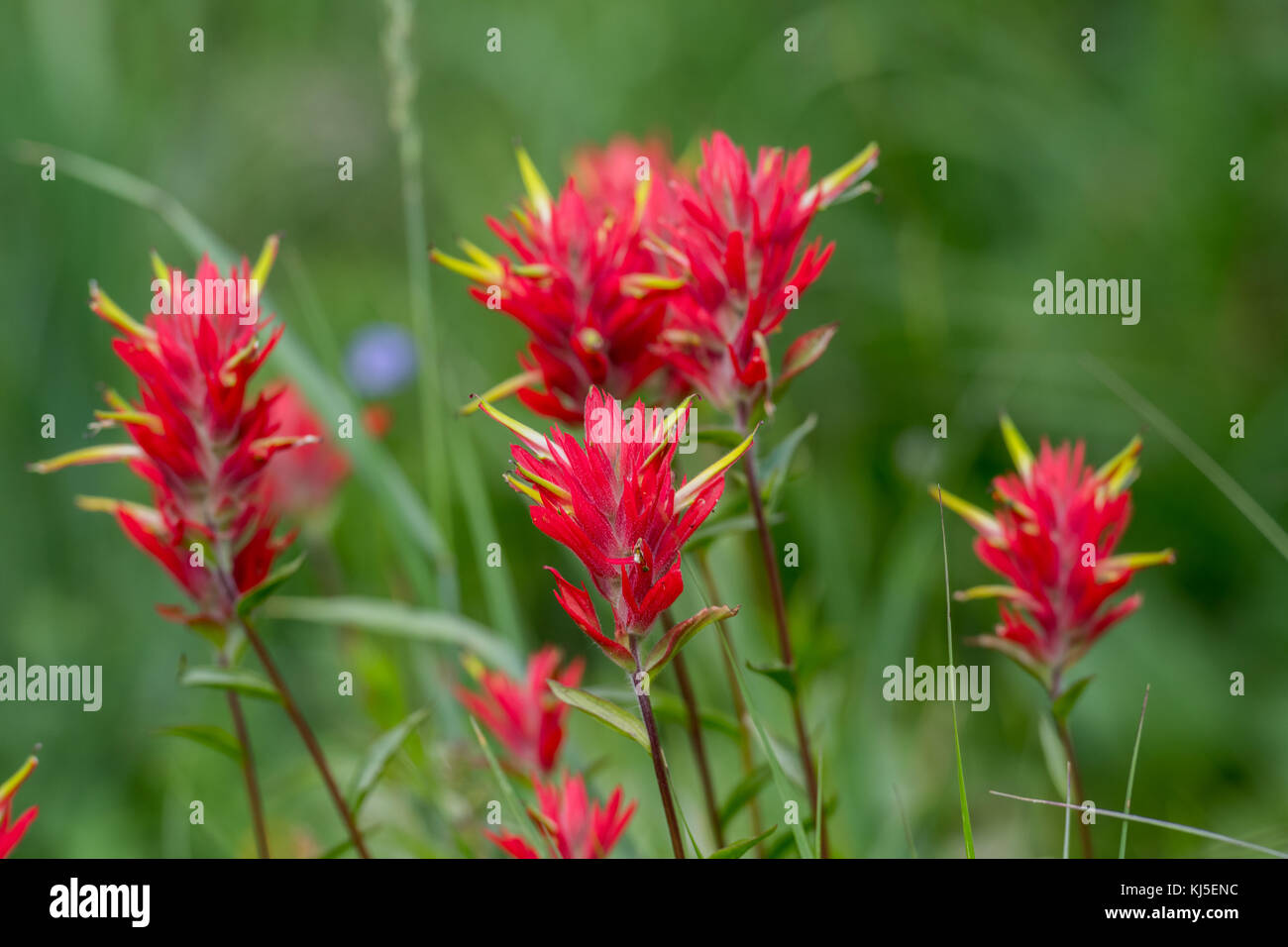 Red Indian Paint Brush Group Close Up in alpine field - Stock Image