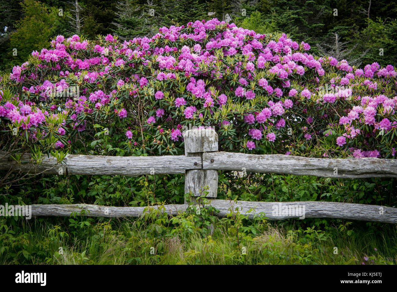 Rhododendron Blooms Over Post of Fence and Post - Stock Image