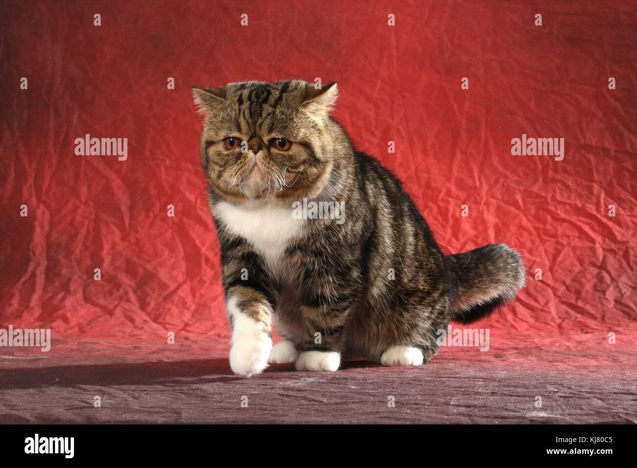 Exotic Shorthair Kittens Long Island
